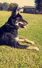 Border Collie x Kelpie Puppy Smithfield Plains Playford Area Preview