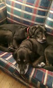 Two lost black labs close to UNB