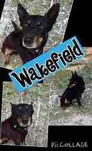 WAKEFIELD - 7 YR OLD MALE KELPIE - HAPPY GO LUCKY BOY Gawler Gawler Area Preview