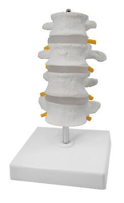 4 Lumbar Vertebrae With Nerve Branches Model 7.25 Tall On Base - Eisco Labs