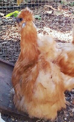 Bearded Silkie Chicken 10 Hatching Eggs Buff Pure White Blue Splash