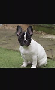 French bulldog female Eagle Vale Campbelltown Area Preview