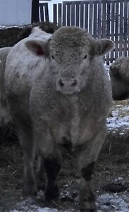 Registered Purebred Charolais Bulls for Sale