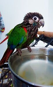 A hand raised young pearly conure Broadbeach Waters Gold Coast City Preview