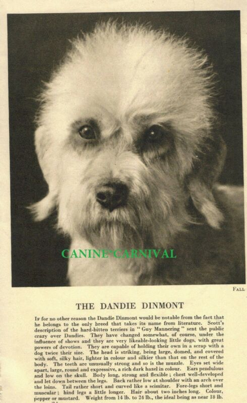 DANDIE DINMONT TERRIER Dog HEAD Rare Vintage Art Photo & Breed Description  1931