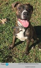 ANGUS - ADOPT ME - IM HANDSOME! Campbelltown Campbelltown Area Preview