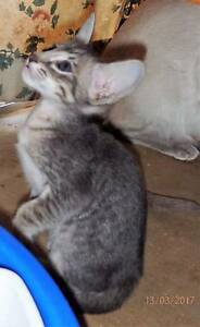 Siamese/Oriental Kittens for Sale Duncraig Joondalup Area Preview