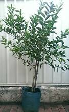 Grafted Advanced Tahitian Lime Fruit Trees Plants Landsdale Wanneroo Area Preview
