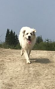 Male Great Pyrenees