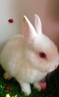 Netherland dwarf rabbit 8 weeks friendly   Pakenham Cardinia Area Preview