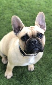 French Bulldog - purebred - female 7 months old