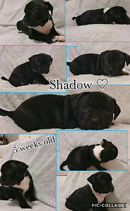 Gorgeous Pure Bred English Staffordshire Bull Terrier puppies Craigmore Playford Area Preview