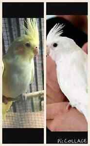 LOST....1 X PURE WHITE WEIRO 1 X  YELLOW WEIRO Darch Wanneroo Area Preview