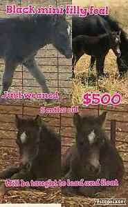 Mini black filly foal Trangie Narromine Area Preview