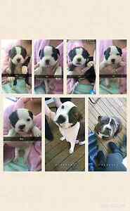 Purebred English staffy puppies. Risdon Vale Clarence Area Preview