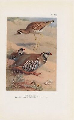 Triel Rothuhn FARBDRUCK von 1925 Stone-curlew Red-legged partridge Thorburn