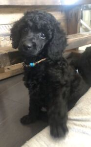BLACK MOYEN POODLE PUPPIES- ONLY 2 MALES LEFT!
