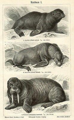 Robben Seehund Seelöwe Klappmütze HOLZSTICH um 1905