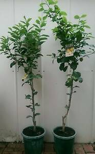 Grafted Citrus Fruit Tree Plants lemons oranges mandarins tangelo Landsdale Wanneroo Area Preview