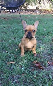 Outstanding quality French bulldogs Puppies ANKC