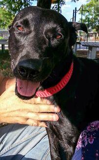 LOST DOG BLACK KELPIE FEM KENWICK AREA
