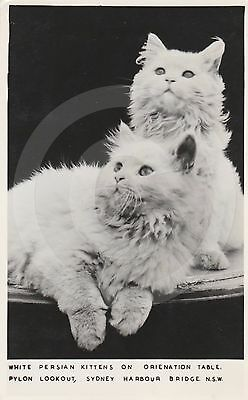RPPC WHITE PERSIAN KITTENS Pylon Lookout SYDNEY HARBOUR BRIDGE Cat REAL PHOTO