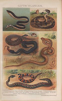 Chromo-Lithografie 1893: Gift-Schlangen. Plattschwanz-Klapperschlange Schararaka