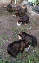 Sarplaninac X mastiff/Rottweiler Gosnells Gosnells Area Preview