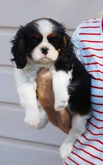 Wanted : Cavalier King Charles puppy North Melbourne Melbourne City Preview