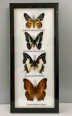 REAL BROWN CRUISER BUTTERFLY TAXIDERMY INSECT PICTURE FRAME ENTOMOLOGY