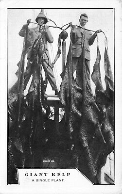 Postcard Giant Kelp Plant  American Potash Inc  Long Beach  California 114439