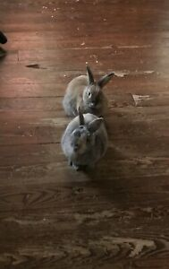 Rabbits for free