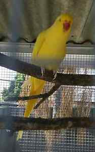 Yellow Female Ringneck Stolen Beresfield Newcastle Area Preview