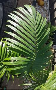 MAXIMA Archontophoenix - Native Collectors Palm Casula Liverpool Area Preview
