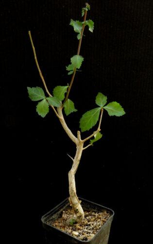 Commiphora wightii,Caudex,Euphorbia,Bulb