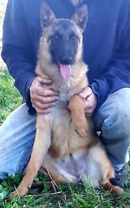 Belgian Shepherd Malinios puppies  - purebred, registered breeder