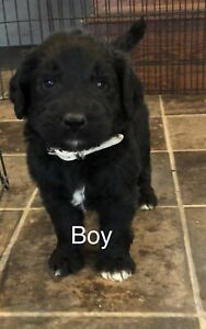Newfy-Poo  Puppies