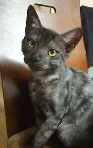 Female kitten desexed, vaccinated and microchipped