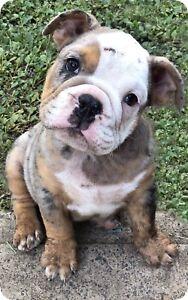 Black tri Merle British bulldog male