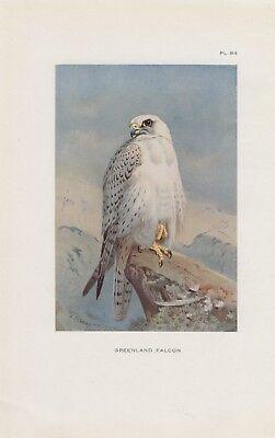 Gerfalke Falco rusticolus Gyrfalcon Greenland falcon FARBDRUCK von 1925 Thorburn