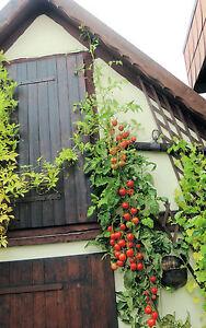 RIESEN-TOMATE * BAUM-TOMATE * 10 Korn *  frische Tomatensamen * Rarität *