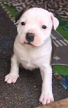 Purebred English Staffordshire bull terriers Calala Tamworth Surrounds Preview