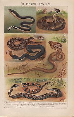 Chromo-Lithografie 1893: Gift-Schlangen. Klapperschlange Korallenschlange
