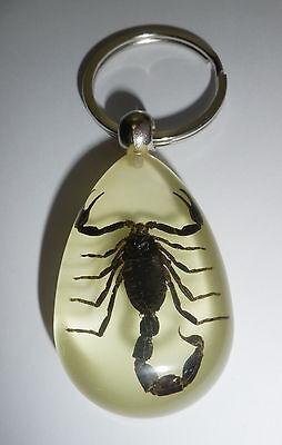 Black Scorpion Mesobuthus martensii Specimen Insect Large Key Ring YK12 Glow