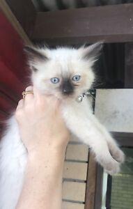 Purebred Ragdoll Male Kitten