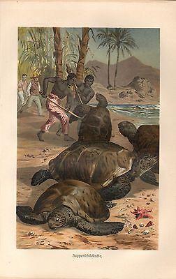 Suppenschildkröte (Chelonia mydas) Meeresschildkröte Lithographie 1892
