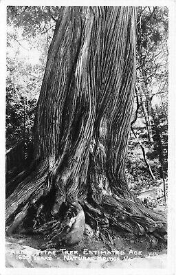 Arbor Vitae Tree Estimated Age 1600 Years Natural Bridge VA RPPC Photo Postcard