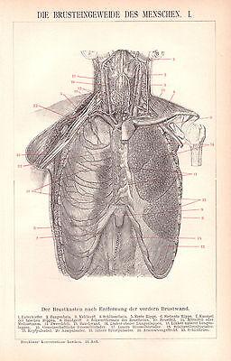 Brusteingeweide des Menschen  I+ II   Organe Herz Lunge Arzt  Anatomie  1895