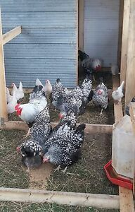 Ducks, Chickens, Chicks, Lambs, Weaner Pigs, Plants and more