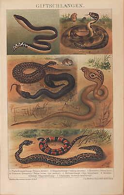 Chromo-Lithografie 1894: Gift-Schlangen. Plattschwanz-Klapperschlange Amphibien